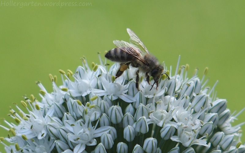 Biene an Allium-Blüte
