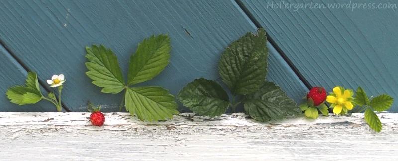 Wald- und Scheinerdbeeren