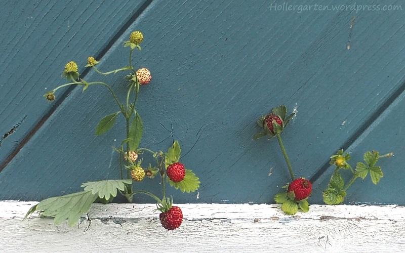 Walderdbeeren und Scheinerdbeeren