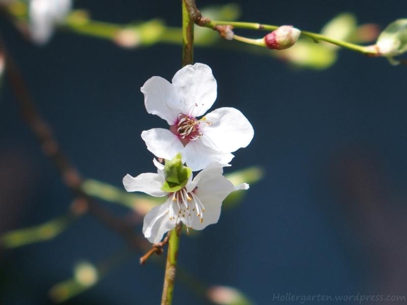 Blüte der Mirabelle (oder Griacherl)